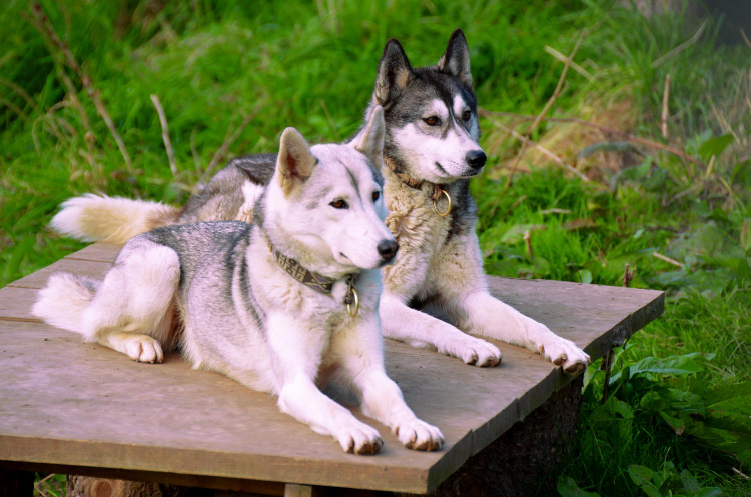 Sos Husky Chiens Polaires